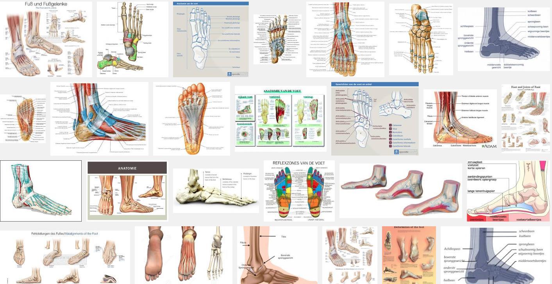 voeten, samenstelling, gewrichten